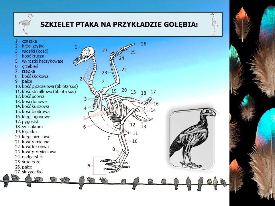 SZKIELET PTAKA NA PRZYKŁADZIE GOŁĘBIA: 1.czaszka 2.kręgi szyjne 3.widełki (kość) 4.kość krucza 5.wyrostki haczykowate 6.grzebień 7.rzepka 8.kość skoko