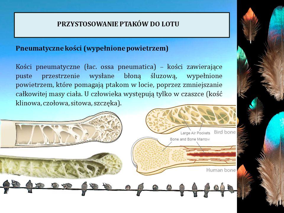PRZYSTOSOWANIE PTAKÓW DO LOTU Pneumatyczne kości (wypełnione powietrzem) Kości pneumatyczne (łac. ossa pneumatica) – kości zawierające puste przestrze