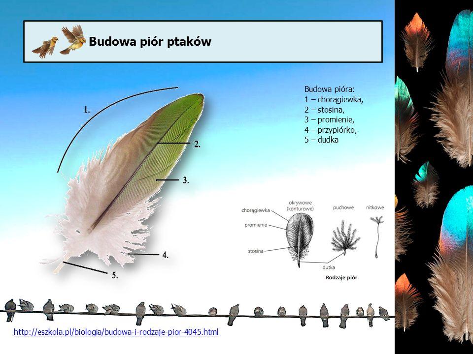 Budowa piór ptaków Budowa pióra: 1 – chorągiewka, 2 – stosina, 3 – promienie, 4 – przypiórko, 5 – dudka http://eszkola.pl/biologia/budowa-i-rodzaje-pi