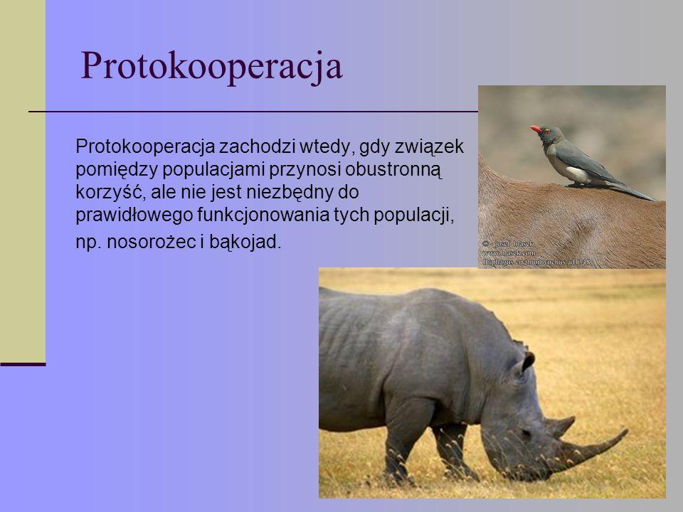Protokooperacja Protokooperacja zachodzi wtedy, gdy związek pomiędzy populacjami przynosi obustronną korzyść, ale nie jest niezbędny do prawidłowego funkcjonowania tych populacji, np.