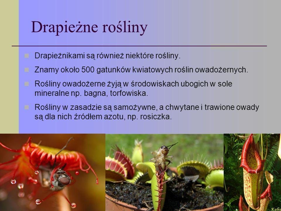 Drapieżne rośliny Drapieżnikami są również niektóre rośliny.