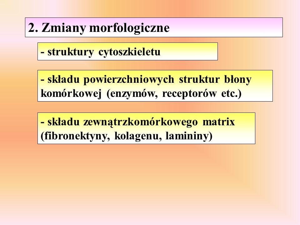 2. Zmiany morfologiczne - struktury cytoszkieletu - składu powierzchniowych struktur błony komórkowej (enzymów, receptorów etc.) - składu zewnątrzkomó