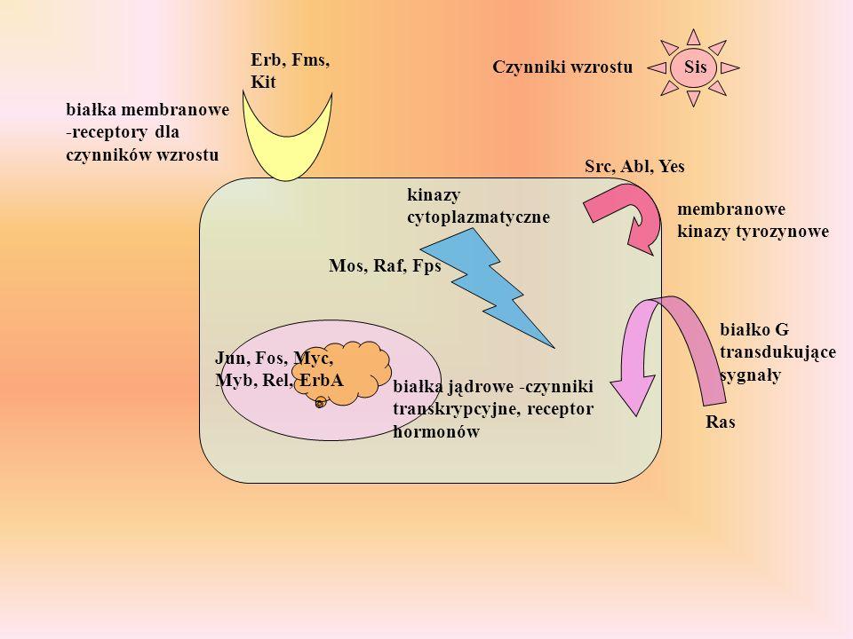 Czynniki wzrostu białka membranowe -receptory dla czynników wzrostu membranowe kinazy tyrozynowe białko G transdukujące sygnały kinazy cytoplazmatyczne białka jądrowe -czynniki transkrypcyjne, receptor hormonów Sis Erb, Fms, Kit Src, Abl, Yes Ras Mos, Raf, Fps Jun, Fos, Myc, Myb, Rel, ErbA