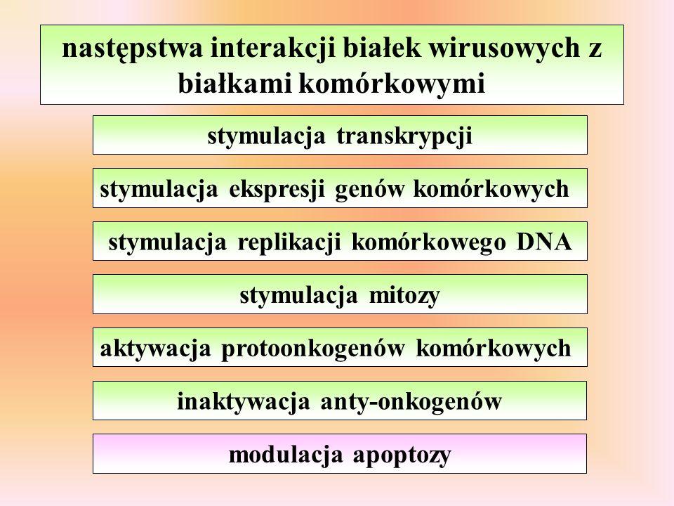 następstwa interakcji białek wirusowych z białkami komórkowymi aktywacja protoonkogenów komórkowych inaktywacja anty-onkogenów stymulacja transkrypcji stymulacja ekspresji genów komórkowych stymulacja replikacji komórkowego DNA stymulacja mitozy modulacja apoptozy