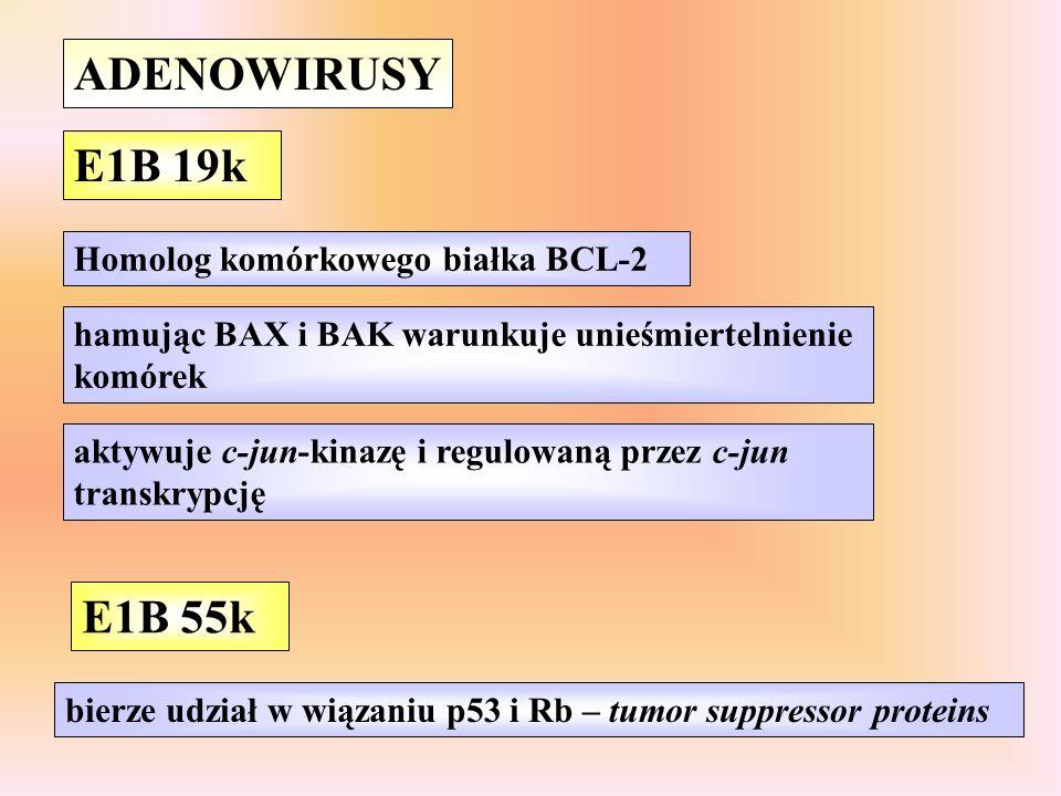 ADENOWIRUSY E1B 19k hamując BAX i BAK warunkuje unieśmiertelnienie komórek bierze udział w wiązaniu p53 i Rb – tumor suppressor proteins Homolog komórkowego białka BCL-2 E1B 55k aktywuje c-jun-kinazę i regulowaną przez c-jun transkrypcję