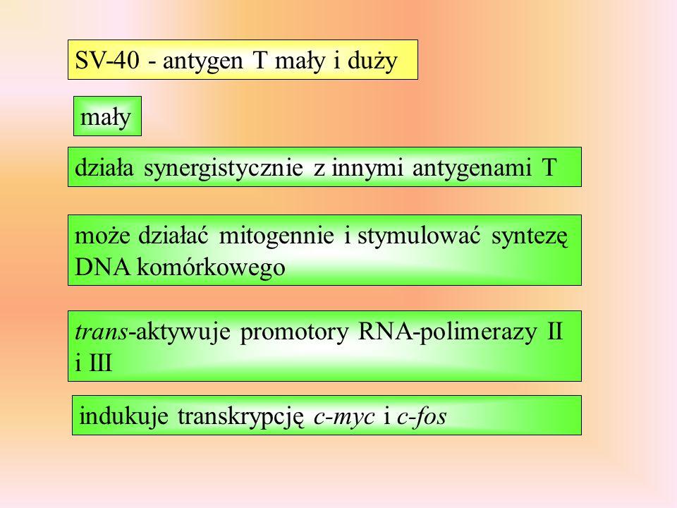 SV-40 - antygen T mały i duży mały trans-aktywuje promotory RNA-polimerazy II i III indukuje transkrypcję c-myc i c-fos działa synergistycznie z innymi antygenami T może działać mitogennie i stymulować syntezę DNA komórkowego