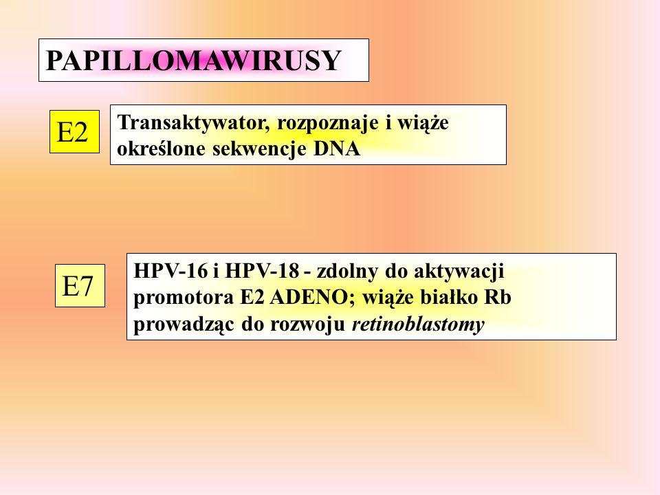 PAPILLOMAWIRUSY E2 E7 Transaktywator, rozpoznaje i wiąże określone sekwencje DNA HPV-16 i HPV-18 - zdolny do aktywacji promotora E2 ADENO; wiąże białko Rb prowadząc do rozwoju retinoblastomy