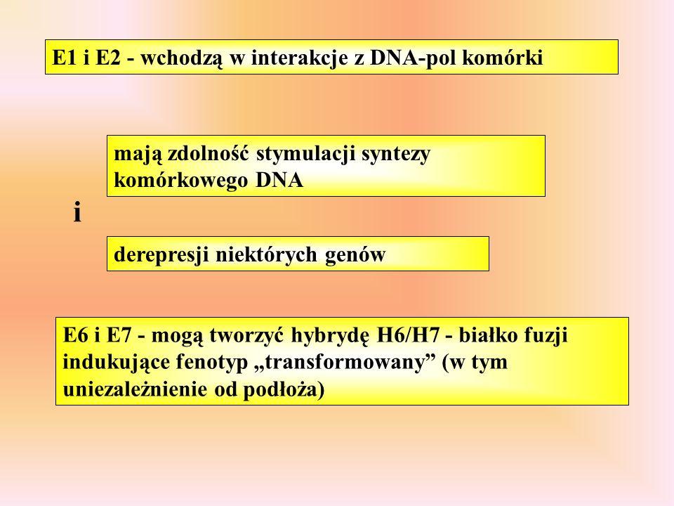 """E1 i E2 - wchodzą w interakcje z DNA-pol komórki mają zdolność stymulacji syntezy komórkowego DNA derepresji niektórych genów i E6 i E7 - mogą tworzyć hybrydę H6/H7 - białko fuzji indukujące fenotyp """"transformowany (w tym uniezależnienie od podłoża)"""