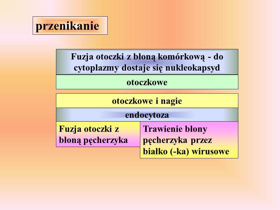 przenikanie Fuzja otoczki z błoną komórkową - do cytoplazmy dostaje się nukleokapsyd endocytoza Fuzja otoczki z błoną pęcherzyka Trawienie błony pęcherzyka przez białko (-ka) wirusowe otoczkowe otoczkowe i nagie