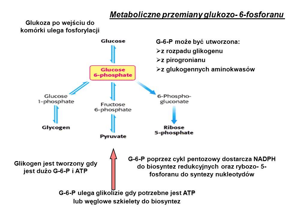 Metaboliczne przemiany glukozo- 6-fosforanu Glikogen jest tworzony gdy jest dużo G-6-P i ATP ATP G-6-P ulega glikolizie gdy potrzebne jest ATP lub węglowe szkielety do biosyntez G-6-P poprzez cykl pentozowy dostarcza NADPH do biosyntez redukcyjnych oraz rybozo- 5- fosforanu do syntezy nukleotydów G-6-P może być utworzona:  z rozpadu glikogenu  z pirogronianu  z glukogennych aminokwasów Glukoza po wejściu do komórki ulega fosforylacji