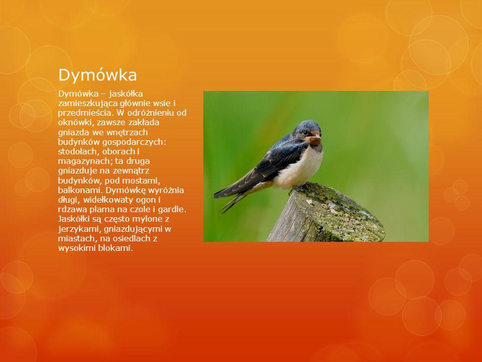Dymówka Dymówka – jaskółka zamieszkująca głównie wsie i przedmieścia.