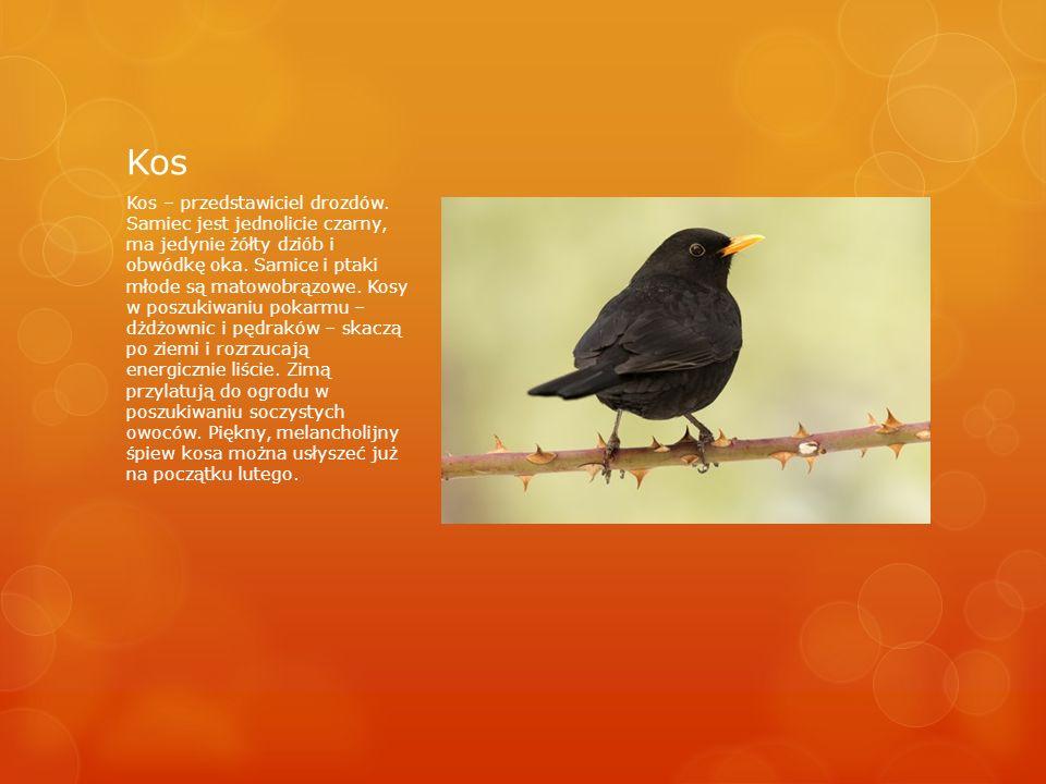 Kos Kos – przedstawiciel drozdów.
