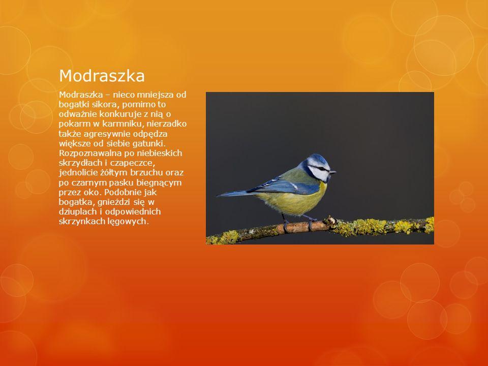 Modraszka Modraszka – nieco mniejsza od bogatki sikora, pomimo to odważnie konkuruje z nią o pokarm w karmniku, nierzadko także agresywnie odpędza większe od siebie gatunki.