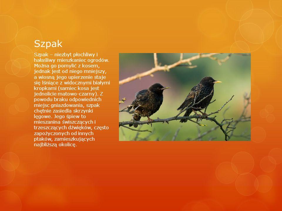 Szpak Szpak – niezbyt płochliwy i hałaśliwy mieszkaniec ogrodów.
