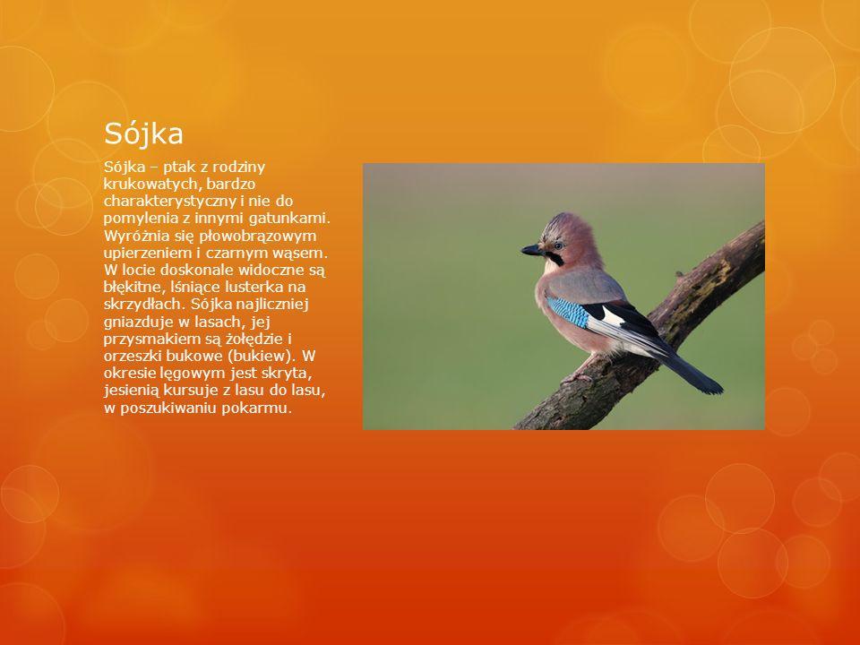 Sójka Sójka – ptak z rodziny krukowatych, bardzo charakterystyczny i nie do pomylenia z innymi gatunkami.