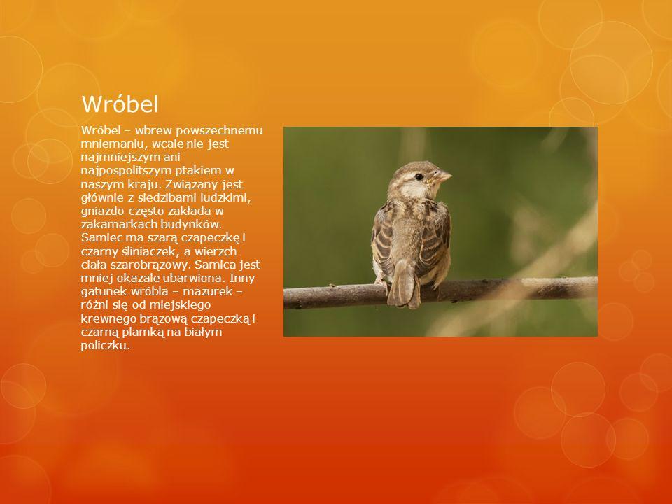 Wróbel Wróbel – wbrew powszechnemu mniemaniu, wcale nie jest najmniejszym ani najpospolitszym ptakiem w naszym kraju.