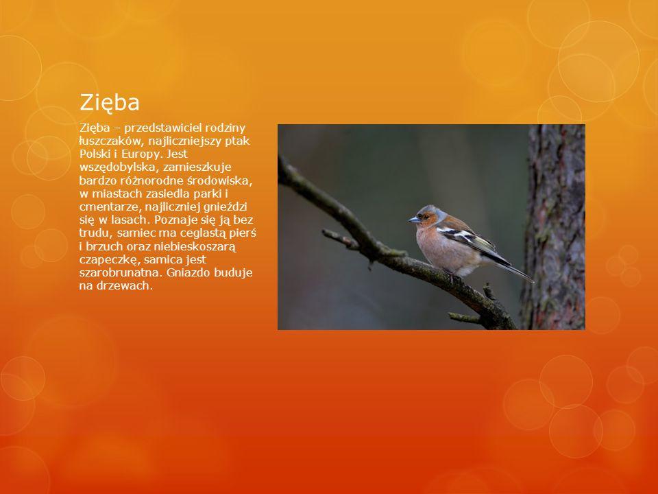 Zięba Zięba – przedstawiciel rodziny łuszczaków, najliczniejszy ptak Polski i Europy.