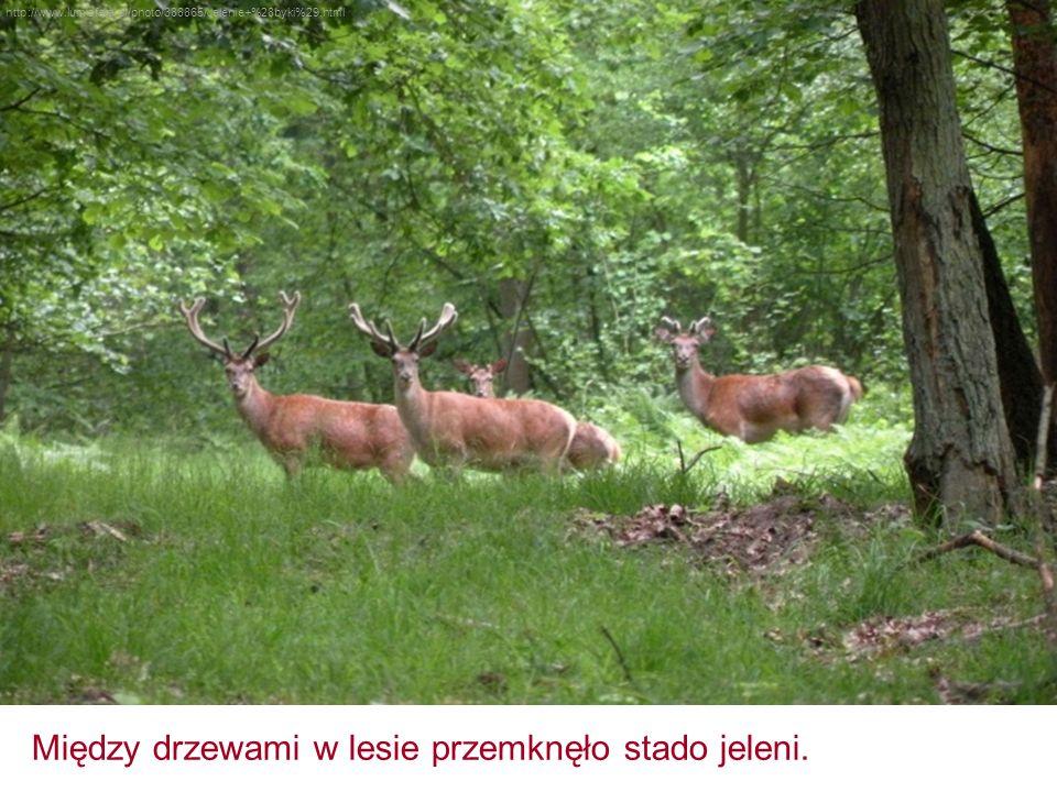 http://www.lumisfera.pl/photo/388865/Jelenie+%28byki%29.html Między drzewami w lesie przemknęło stado jeleni.