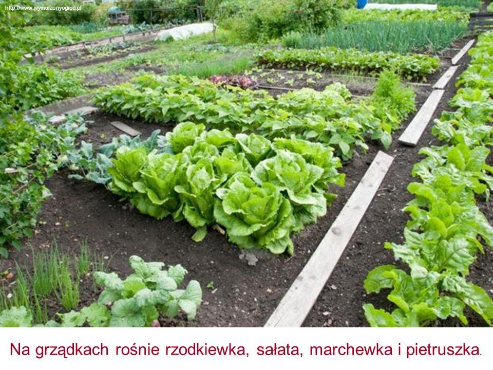 Na grządkach rośnie rzodkiewka, sałata, marchewka i pietruszka. http://www.wymarzonyogrod.pl
