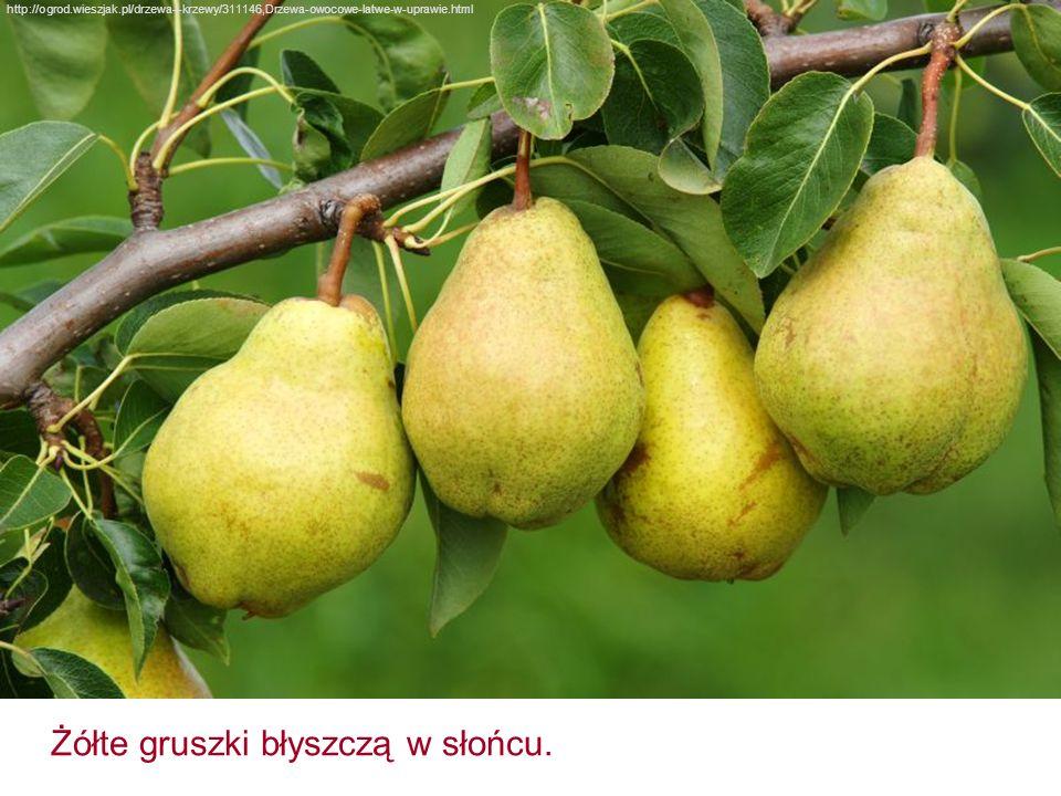 http://ogrod.wieszjak.pl/drzewa-i-krzewy/311146,Drzewa-owocowe-latwe-w-uprawie.html Żółte gruszki błyszczą w słońcu.