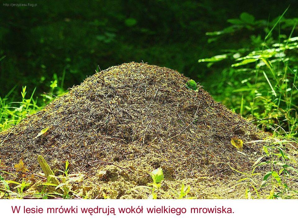 http://jerzyzlasu.flog.pl W lesie mrówki wędrują wokół wielkiego mrowiska.