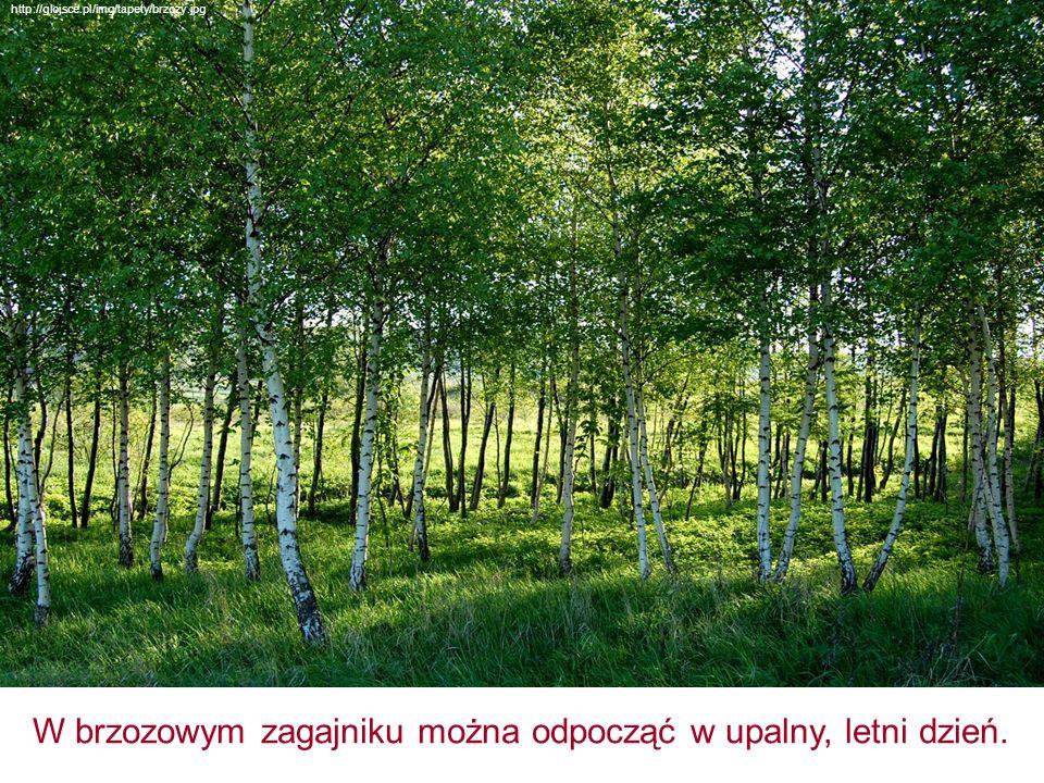 W brzozowym zagajniku można odpocząć w upalny, letni dzień. http://glojsce.pl/img/tapety/brzozy.jpg