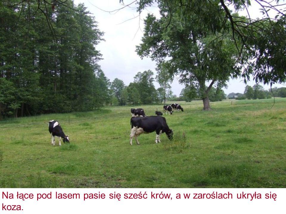 Na łące pod lasem pasie się sześć krów, a w zaroślach ukryła się koza. http://ugieni.pl/lsa.htm