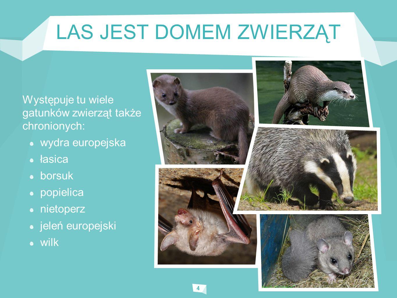 LAS JEST DOMEM ZWIERZĄT 4 Występuje tu wiele gatunków zwierząt także chronionych: wydra europejska łasica borsuk popielica nietoperz jeleń europejski wilk