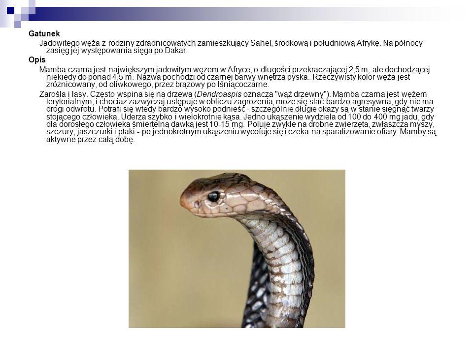 Gatunek Jadowitego węża z rodziny zdradnicowatych zamieszkujący Sahel, środkową i południową Afrykę.