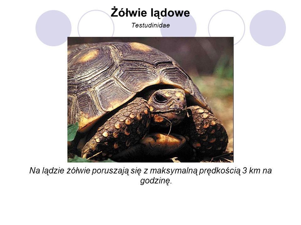 Żółwie lądowe Testudinidae Na lądzie żółwie poruszają się z maksymalną prędkością 3 km na godzinę.