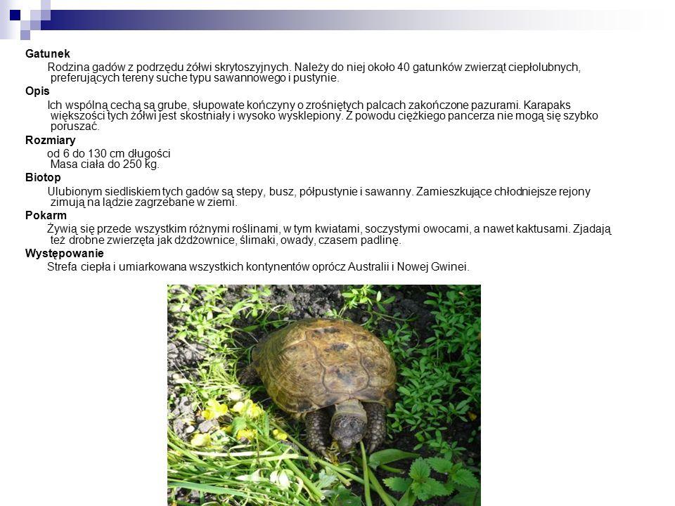 Gatunek Rodzina gadów z podrzędu żółwi skrytoszyjnych.