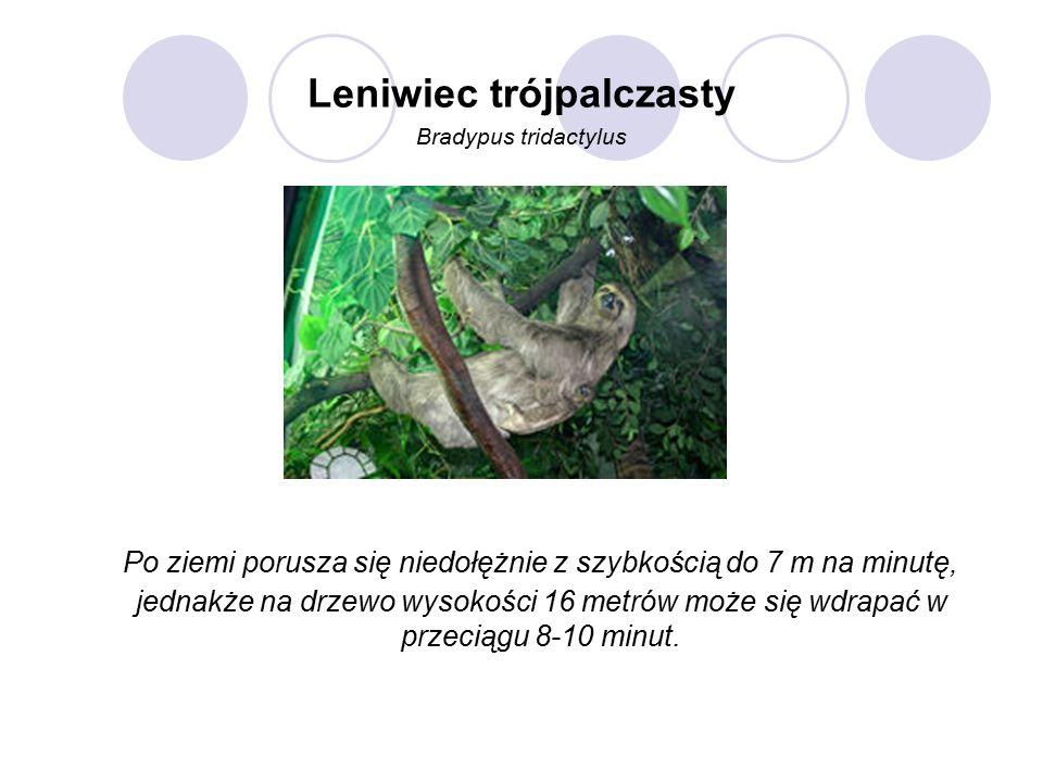 Leniwiec trójpalczasty Bradypus tridactylus Po ziemi porusza się niedołężnie z szybkością do 7 m na minutę, jednakże na drzewo wysokości 16 metrów może się wdrapać w przeciągu 8-10 minut.