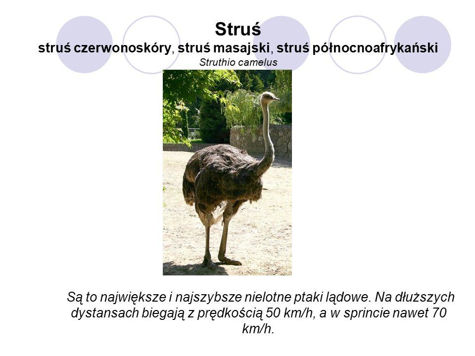 Struś struś czerwonoskóry, struś masajski, struś północnoafrykański Struthio camelus Są to największe i najszybsze nielotne ptaki lądowe.