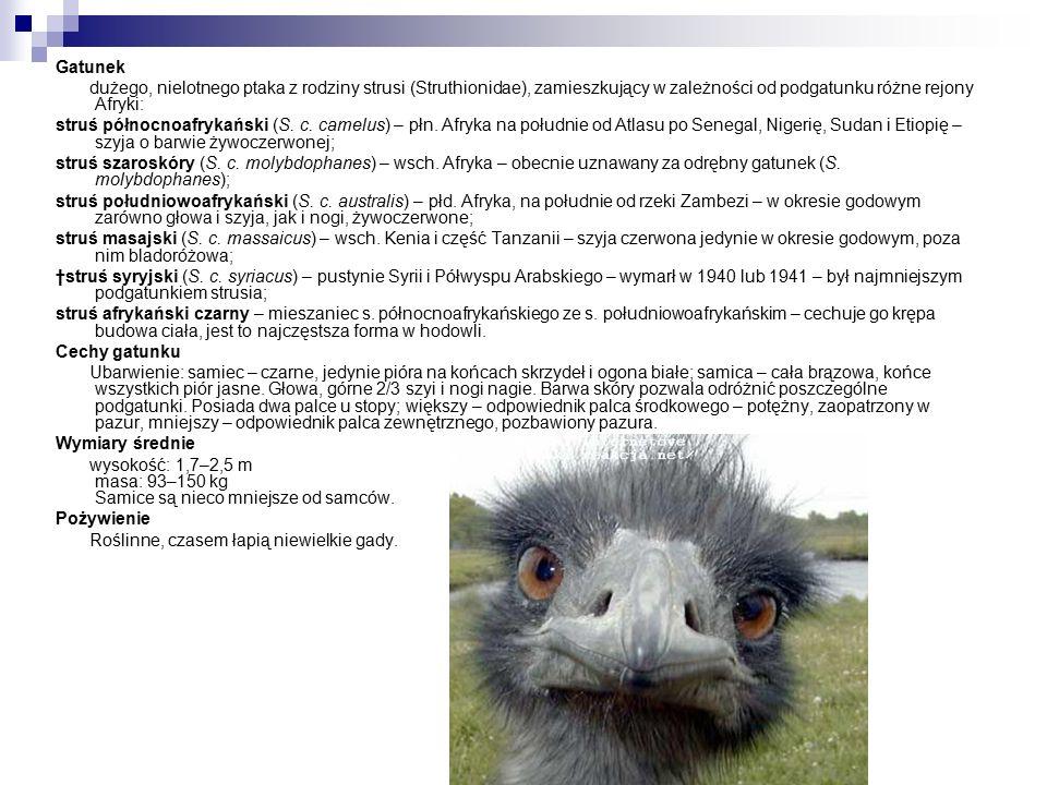 Gatunek dużego, nielotnego ptaka z rodziny strusi (Struthionidae), zamieszkujący w zależności od podgatunku różne rejony Afryki: struś północnoafrykański (S.