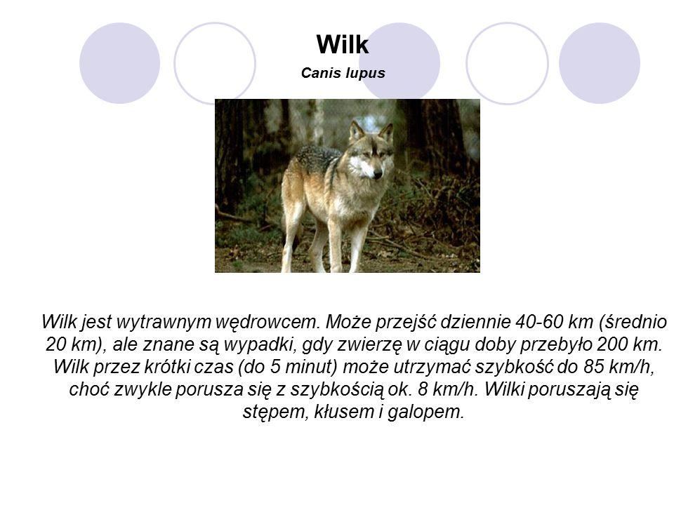 Wilk jest wytrawnym wędrowcem.