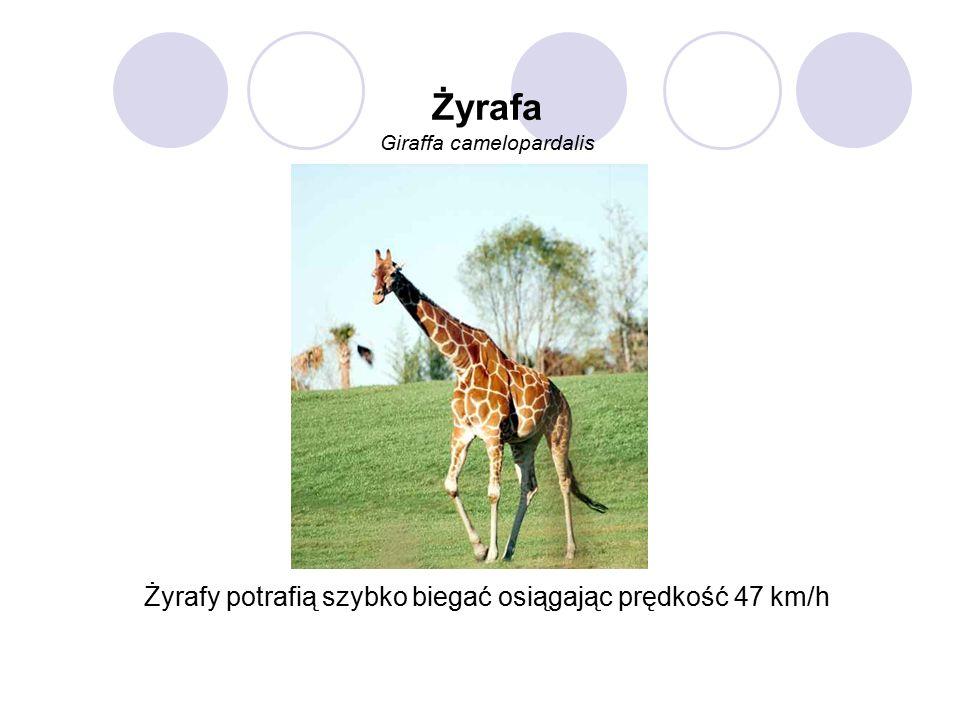 Żyrafa Giraffa camelopardalis Żyrafy potrafią szybko biegać osiągając prędkość 47 km/h