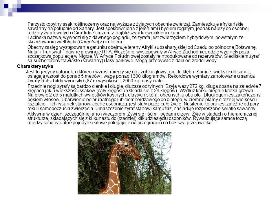 Parzystokopytny ssak roślinożerny oraz najwyższe z żyjących obecnie zwierząt.
