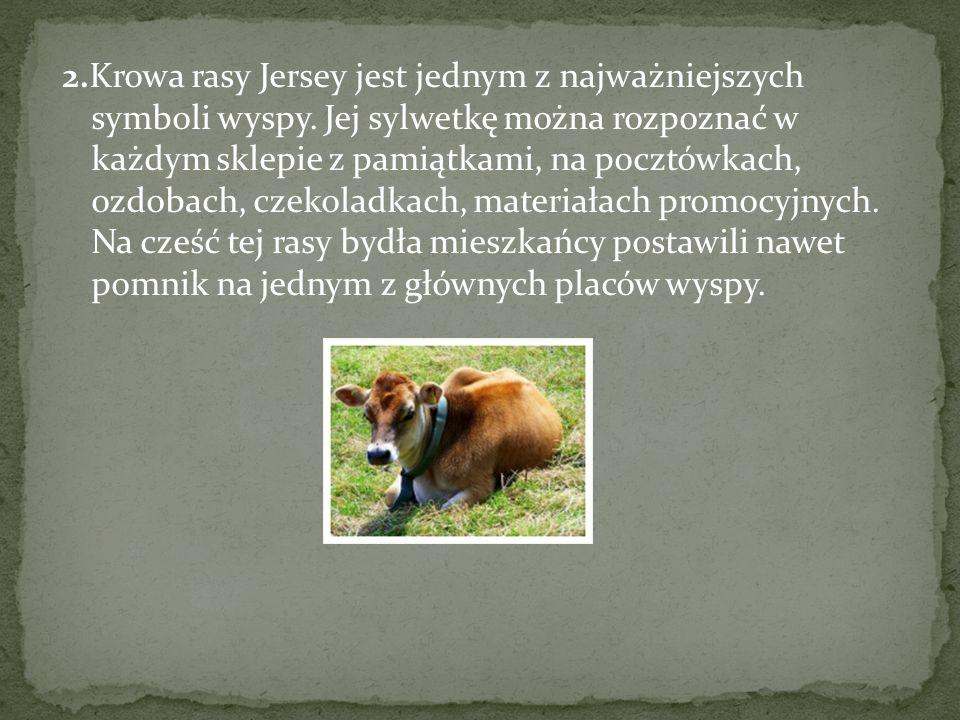 2.Krowa rasy Jersey jest jednym z najważniejszych symboli wyspy.