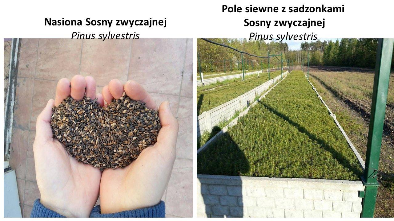 Nasiona Sosny zwyczajnej Pinus sylvestris Pole siewne z sadzonkami Sosny zwyczajnej Pinus sylvestris