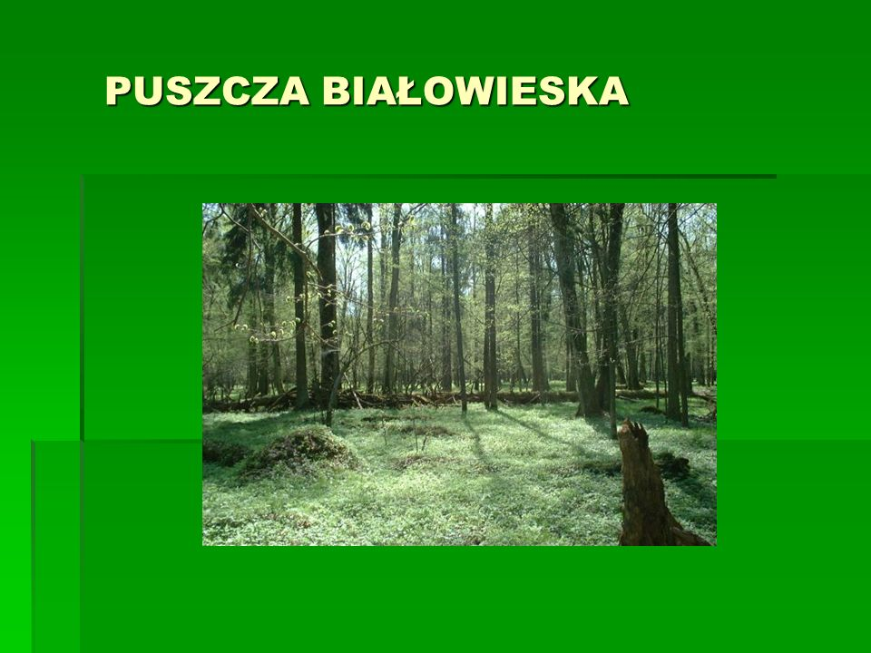 BIAŁOWIESKI PARK NARODOWY  Utworzony w 1947r  Powierzchnia 105,02 km²  Symbolem parku jest żubr, gdyż właśnie w tym parku ocalono od zagłady to zwierzę.