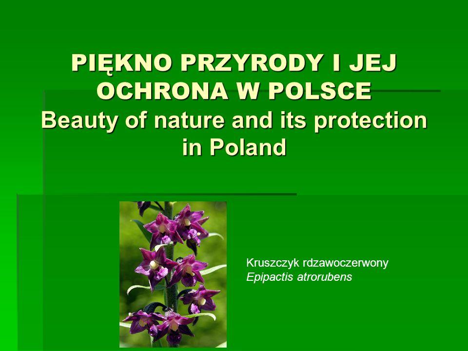 PIĘKNO PRZYRODY I JEJ OCHRONA W POLSCE Beauty of nature and its protection in Poland Kruszczyk rdzawoczerwony Epipactis atrorubens