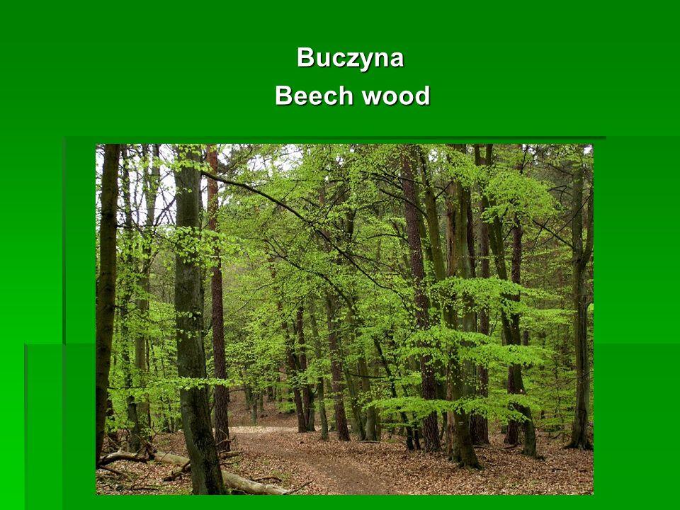 Buczyna Buczyna Beech wood Beech wood