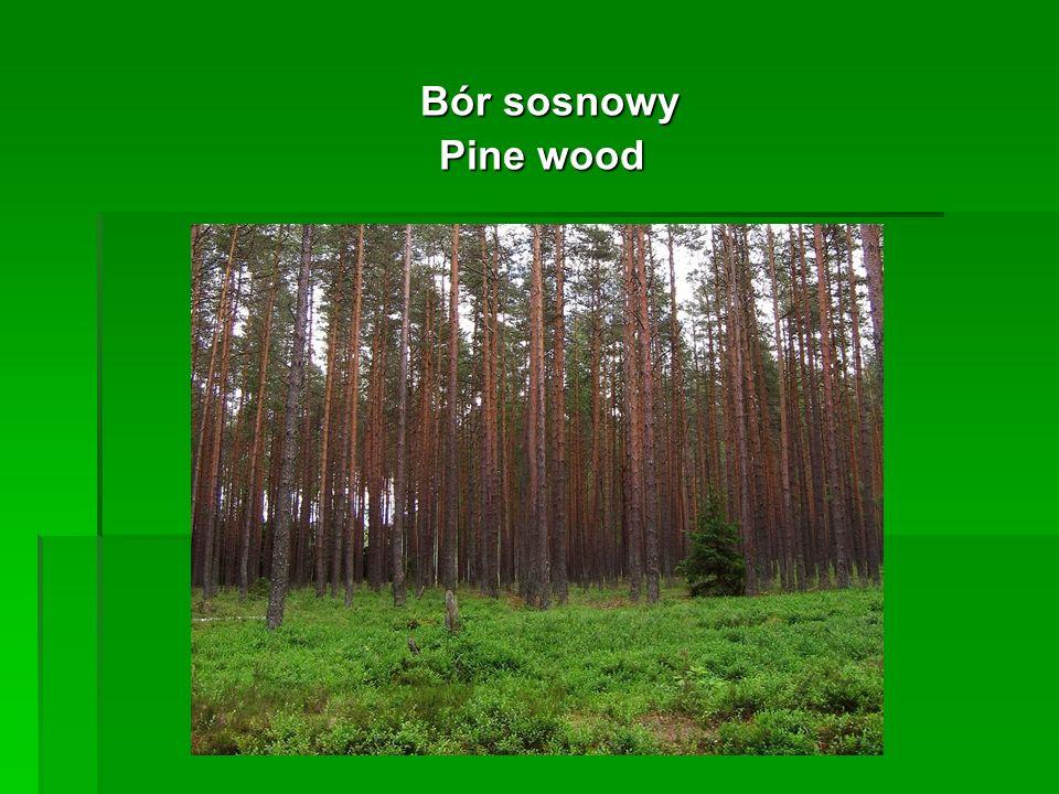 Bór sosnowy Bór sosnowy Pine wood Pine wood
