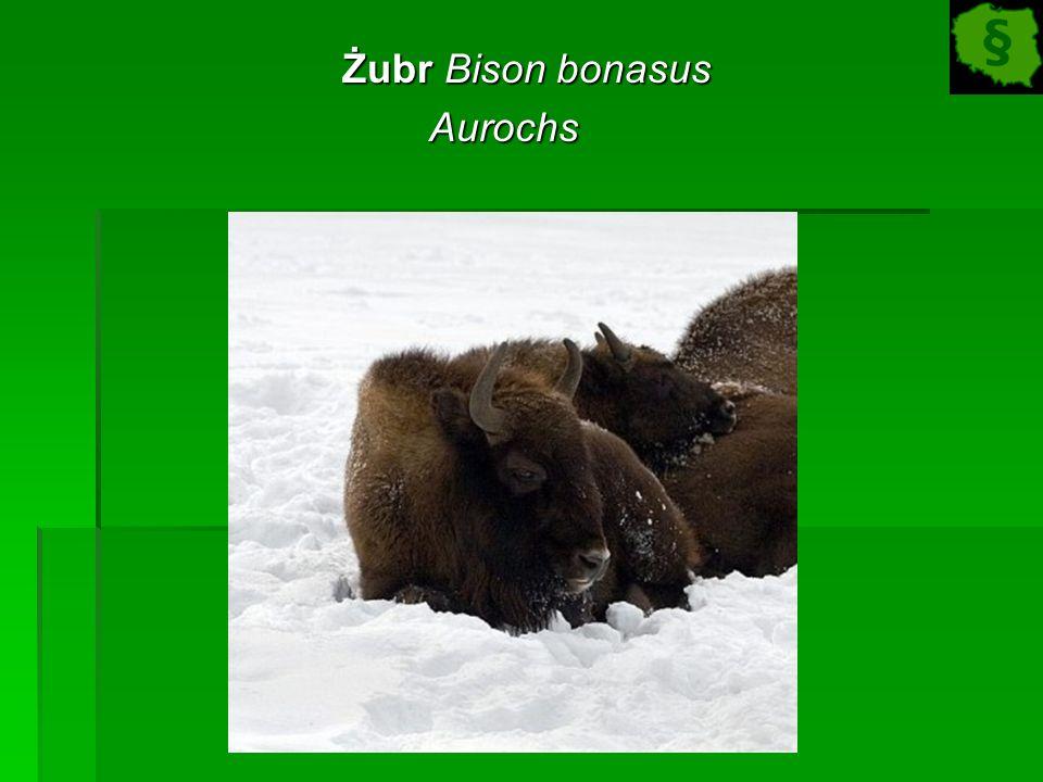 Żubr Bison bonasus Żubr Bison bonasusAurochs