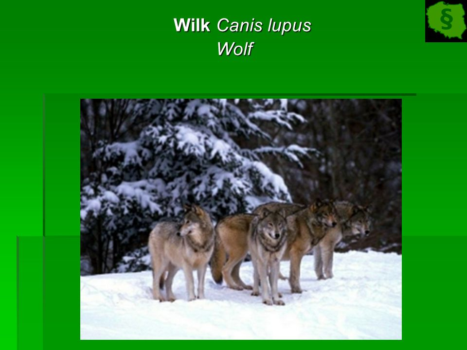 Wilk Canis lupus Wilk Canis lupusWolf