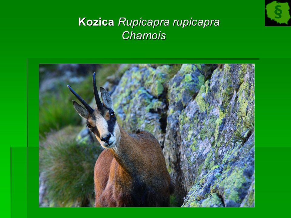 Kozica Rupicapra rupicapra Kozica Rupicapra rupicapraChamois