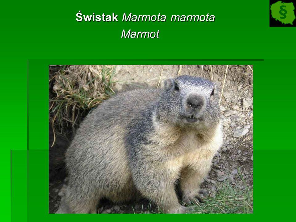 Świstak Marmota marmota Świstak Marmota marmotaMarmot