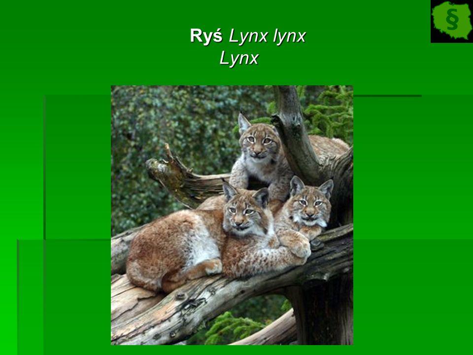Ryś Lynx lynx Ryś Lynx lynxLynx
