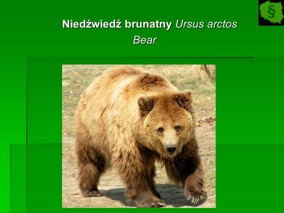 Niedźwiedź brunatny Ursus arctos Niedźwiedź brunatny Ursus arctosBear