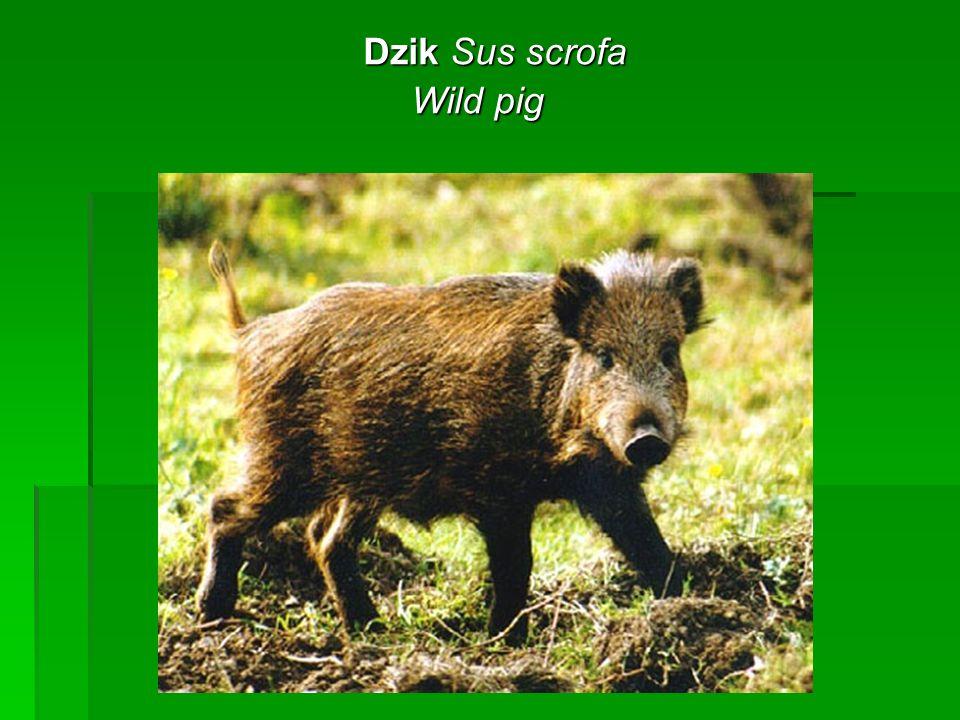 Dzik Sus scrofa Dzik Sus scrofa Wild pig